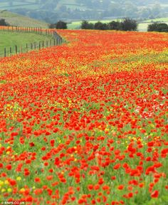 Magnificent field of bright red poppies near Shaftesbury in north Dorset covers several acres of farmland