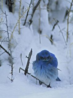 faerieangel:    blue bird in snow ~ This little guy makes me smile