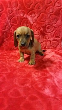Litter of 6 Dachshund puppies for sale in DAYTON, OH. ADN