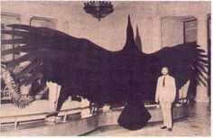 30 Weird Historical Facts You Definitely Never Learned in History Class (Slide - Offbeat. This is the Magnificent Argentine Bird, one of the largest birds ever to exist. It had a wingspan of up to 21 feet. Extinct Animals, Prehistoric Animals, Extinct Birds, Mothman, Big Animals, Giant Animals, Cryptozoology, Mundo Animal, Big Bird