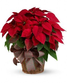 USA Plants - Large Red Poinsettia