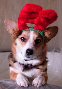 """If Corgis Pulled Santa's Sleigh"" - cute Pembroke Welsh Corgi Snickers, in her antlers. ©Snickmom"