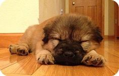 OMG this puppy is sooo cute....He reminds me of our Bear RIP!!