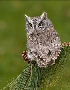 Eastern Screech Owl - gray morph