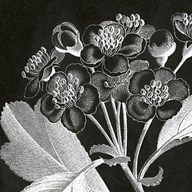 Mespilus Dxyacantha  Fine Art Print