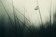 Utro, butterfly on a blade of grass