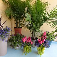 How To Repot A Majesty Palm Plant Pinterest Plants And