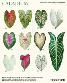 Exotic Plants, Tropical Plants, Leaf Identification, Decoration Plante, Variegated Plants, Calathea, Types Of Plants, Houseplants, Indoor Plants