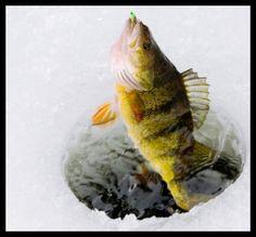 Perch through the ice