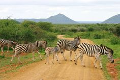 Zebra crossing, Madikwe Game Reserve, South Africa. Photo: Annika Langa.
