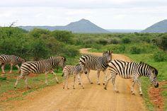 Zebra crossing, Madikwe Game Reserve, South Africa. Photo: Annika Langa.