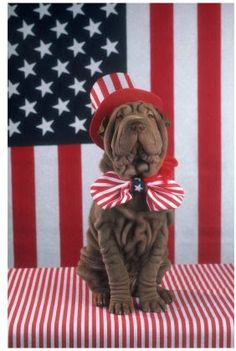 Shar Pei <3!  Love this chocolate color.....