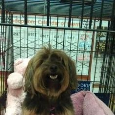 Annie is an adoptable Yorkshire Terrier Yorkie Dog in Maryville, TN. Annie is the sweetest little girl.  She is diabetic and on insulin and due to her size, her medicine is very inexpensive and lasts ...