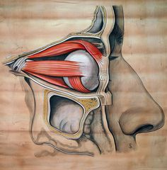 Muscles of the eye, circa 1900 By Elisa Schorn.