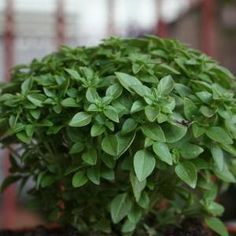 Como cultivar manjericão em casa