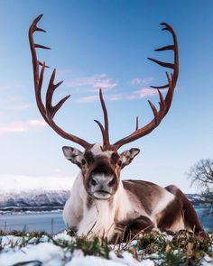 Have you ever seen a reindeer up this close and personal? Look at his amazing antlers, they're a work of art! Photo by The post Have you ever seen a reindeer up this cl& appeared first on . Nature Animals, Animals And Pets, Baby Animals, Funny Animals, Cute Animals, Wildlife Nature, Nature Nature, Wild Animals, Amazing Animals