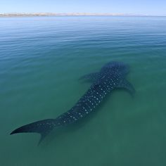 A whale sharks swims in shallow water in La Paz Bay, Baja California Sur. El Niño like conditions resulted in calm and clear water allowing me to make unusual photographs like this one.