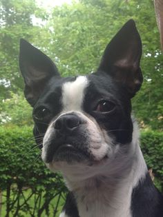 Beautiful Boston Terrier