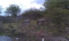 There are not many fences on Nevis so the wild donkeys roam free