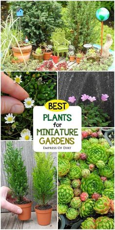 , Want to create a miniature garden with living plants? This guide by expert Janit Calvo has all the information and resources you need to get started. , How to Choose Living Plants for a Miniature Garden Fairy Garden Plants, Mini Fairy Garden, Fairy Garden Houses, Gnome Garden, Fairy Gardening, Fairies Garden, Shade Garden, Flowers Garden, Succulents Garden
