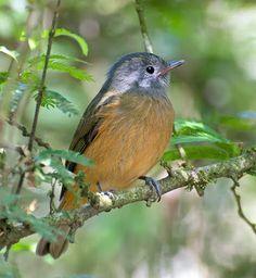 abre-asa-de-cabeça-cinza_Mionectes rufiventris_Brazilian Birds