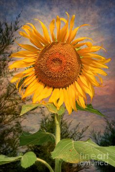 ✯ Golden Sunflower....my day starts with sun flowers and gloriously and slowly dips into the sunset with sunflowers...i call myself a sunflower...forgive the arrogance...but this traveler can't help it.