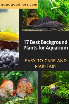 In this article, I will share with you some background plants that you can use for your large aquarium and some other plants use can use for nano tanks. #aquarium #aquariumplants #liveaquariumplants Freshwater Aquarium Plants, Tropical Fish Aquarium, Live Aquarium Plants, Planted Aquarium, Nano Tank, Fast Growing Plants, Liquid Fertilizer, Hardy Plants, Aquatic Plants