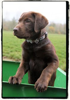 Cute chocolate lab puppy---I just wish they could stay this size.