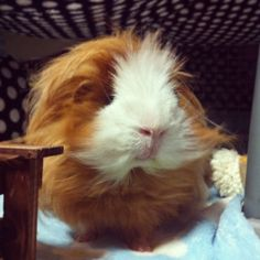 Miss me?  #peruvianguineapig #Mochi #fluffball #longhaired #guineapig #cavy #モルモット