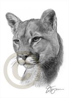 Bleistift Zeichnung Grafik Druck von einer amerikanischen Cougar (Puma) UK Künstler Gary Tymon. Original Kunstwerk wurde mit schwarzen Aquarell Bleistift auf Aquarellpapier und diese Drucke sind eine limitierte Auflage von nur 50. Druck ist ist 16,5 x 11,75 Zoll (A3) und einzeln