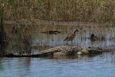 Nile crocodile basking with goose