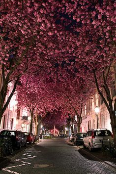 cherry blossom street - must look so pretty as they're all falling, too