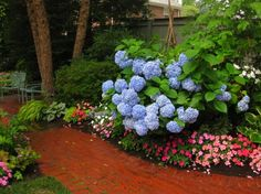 Gorgeous blue Hydrangeas by michelle.enter