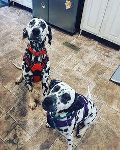Daddy and daughter duo! Dalmatians, Dream Life, Cute Dogs, Daddy, Daughter, Animals, Animales, Animaux, Dalmatian