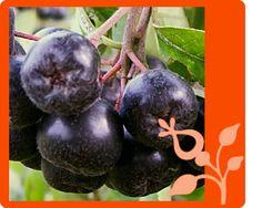 Aronia / Black Chokeberry (Aronia melanocarpa Mich.) ~ via http://arcticberries.se/aronia.htm