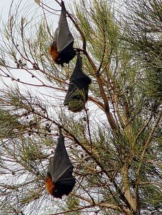 """I saw bats like these in The Botanic Garden in Sydney, Australia. They call them the """"Flying Foxes"""" because they're so big!!"""