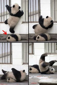 OMG pandas are ADORABLE! Look at the panda in the floor, he doesn't care about anything… Cute Baby Animals, Animals And Pets, Funny Animals, Baby Pandas, Panda Babies, Wild Animals, Panda Lindo, Tierischer Humor, Cute Panda