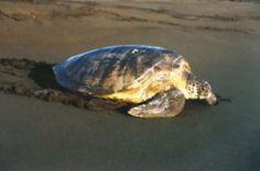 Tortuguero National Park - Green Turtle hatchlings.