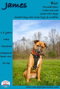 ADOPTED!!! My name is James (but my foster family calls me Zeke). I'm a 1.5 year old, 50lb Shepherd-Boxer mix. I love everything, but toys really make me happy! I get along well with other dogs, but I haven't been cat tested. I am crate trained and love to snuggle. My foster mom says I'm a good boy and that she loves me very much. I just discovered the fine art of butt scratches tonight and am a lap dog. I'm silly, smart, and just generally awesome! causeforpawsohio.com