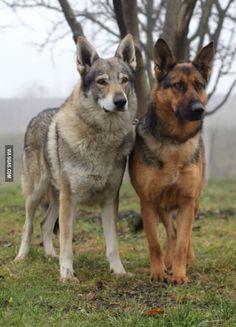 Czechoslovakian Wolfdog and German Shepherd