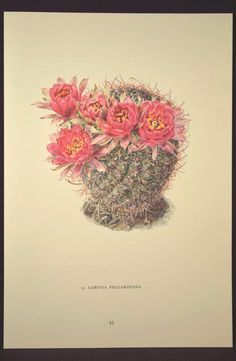 Cactus Print Botanical Print Cacti Print Art Print Cactus