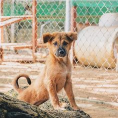 Studies show that once 80% of a stray population has been sterilised the numbers because to decrease naturally. @soidogfoundation have now spayed or neutered 165000 animals part in thanks to you guys.  They along with groups like @rescuepawsthailand are doing amazing work and making a real difference to desperate pups and kittens in need.  Thank you Soi Dog Foundation for being so awesome and thanks to all your support Bohemian Island fans!  #SaveTheSoiDogs