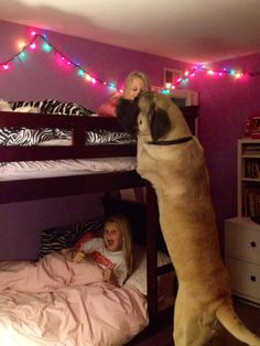 Our English Mastiff, Sherman, saying goodnight to his girls. Sweetest dog ever