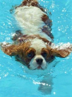This Cavalier certainly has the right idea about staying cool!-Sure looks like my guy Spencer! Cute Puppies, Cute Dogs, Dogs And Puppies, Doggies, Cavalier King Charles Dog, King Charles Spaniel, Beautiful Dogs, Animals Beautiful, Cute Animals