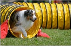 Dog+Agility | Dog Agility Training | Agility Training For Dogs | Tunnels Weave Poles ...