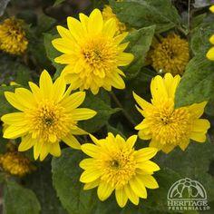 Venus false sunflower perennial sun loving virtually for No maintenance perennials
