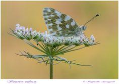 Pontia edusa by Raffaella Coreggioli on 500px
