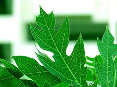 Menghilangkan jerawat dengan daun pepaya