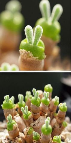 Tiny Succulents Grow as Adorable Rabbit-Shaped Plants in Japan When the Monilaria obconica sprouts, it has two ears just like a bunny. Succulents Grow as Adorable Rabbit-Shaped Plants in Japan When the Monilaria obconica sprouts, it has two ears just like