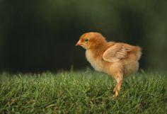 Beneficios de criar pollos en casa - Hogar Total